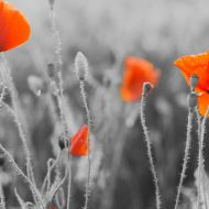 Red poppies from WW1