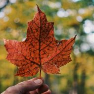 Photo of a Canadian leaf